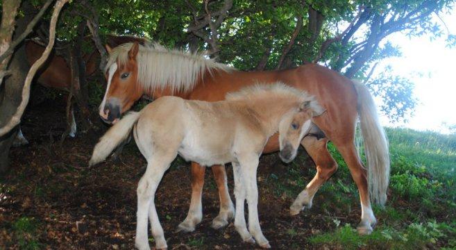 cavalli-del-bisbino-2