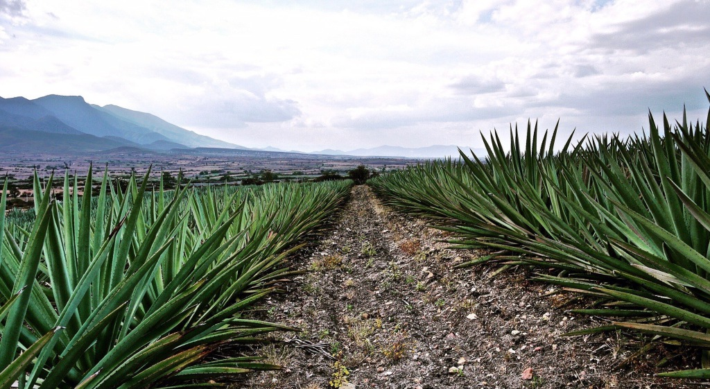agave_field